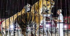 Svetoznámeho krotiteľa roztrhali vlastné tigre. Doplatil tak na svoju celoživotnú vášeň
