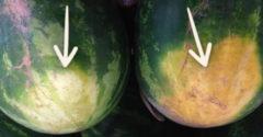 Skúsený farmár prezradil pár tipov ako vybrať sladký a chutný melón